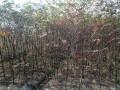 榉树 (1)