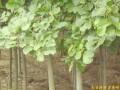 白玉兰 (1)