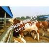 西门塔尔牛犊估个卖肉牛犊鲁西黄牛