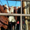 肉牛犊今年的价格小牛犊价格表