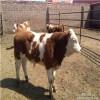 这里肉牛犊价格低 华北牲畜交易中心肉牛犊养殖