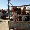 肉牛犊养殖/驴苗价格/肉牛犊价格低价查看