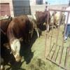 肉牛犊价格-肉牛犊品质好的肉牛犊
