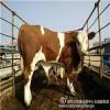 张北县牲畜市场交易肉牛犊市场