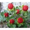 供应蛇莓种子及种苗景观花卉