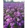 供应美国石竹蓝紫色种子