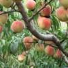 5公分占地桃树 5公分占地桃树价格