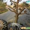 山西果树占地山楂树价格