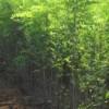 大小规格刺槐树低价出售